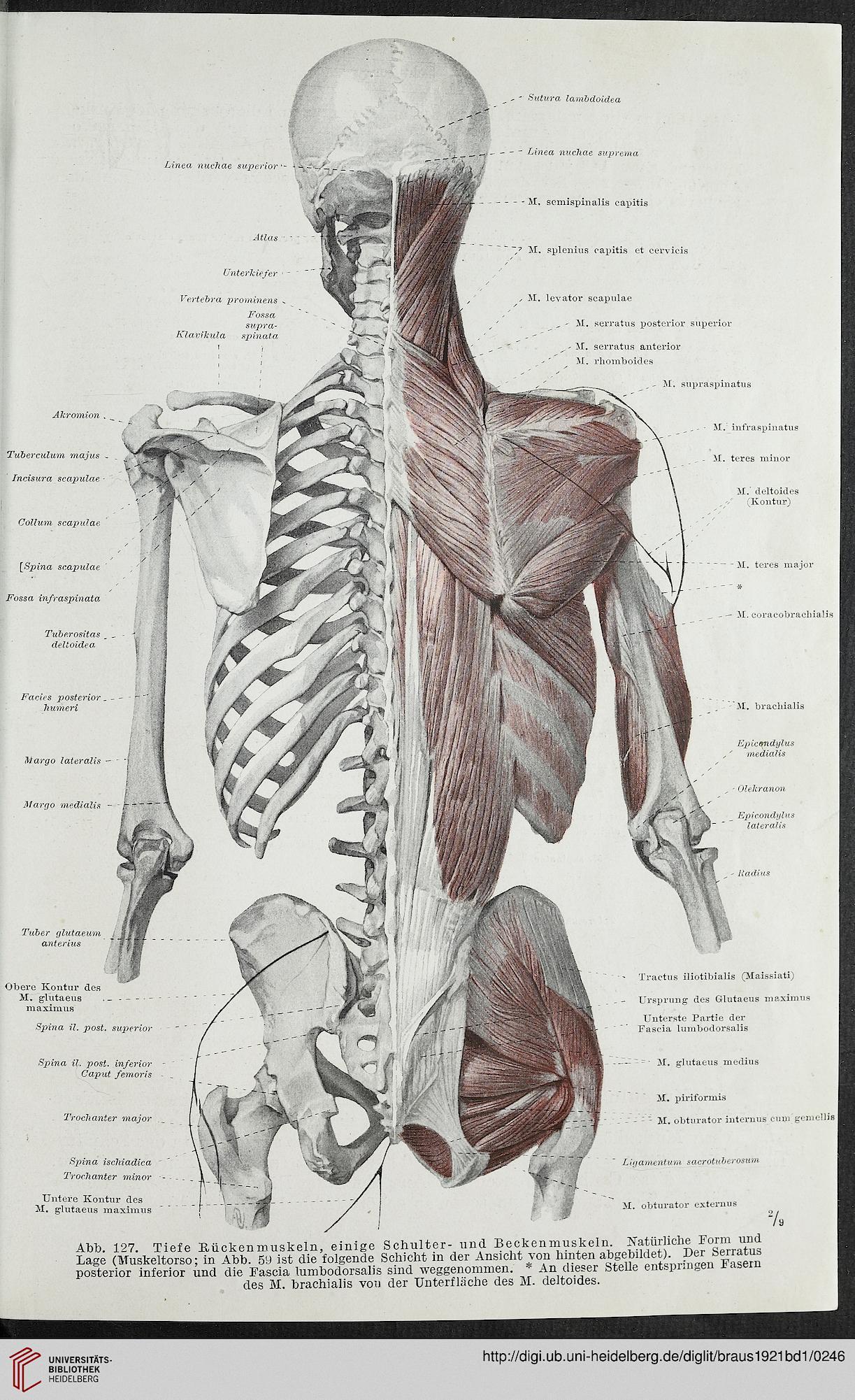 14 Neu Anatomie Des Menschen Innere organe Grafiken - insservices.biz
