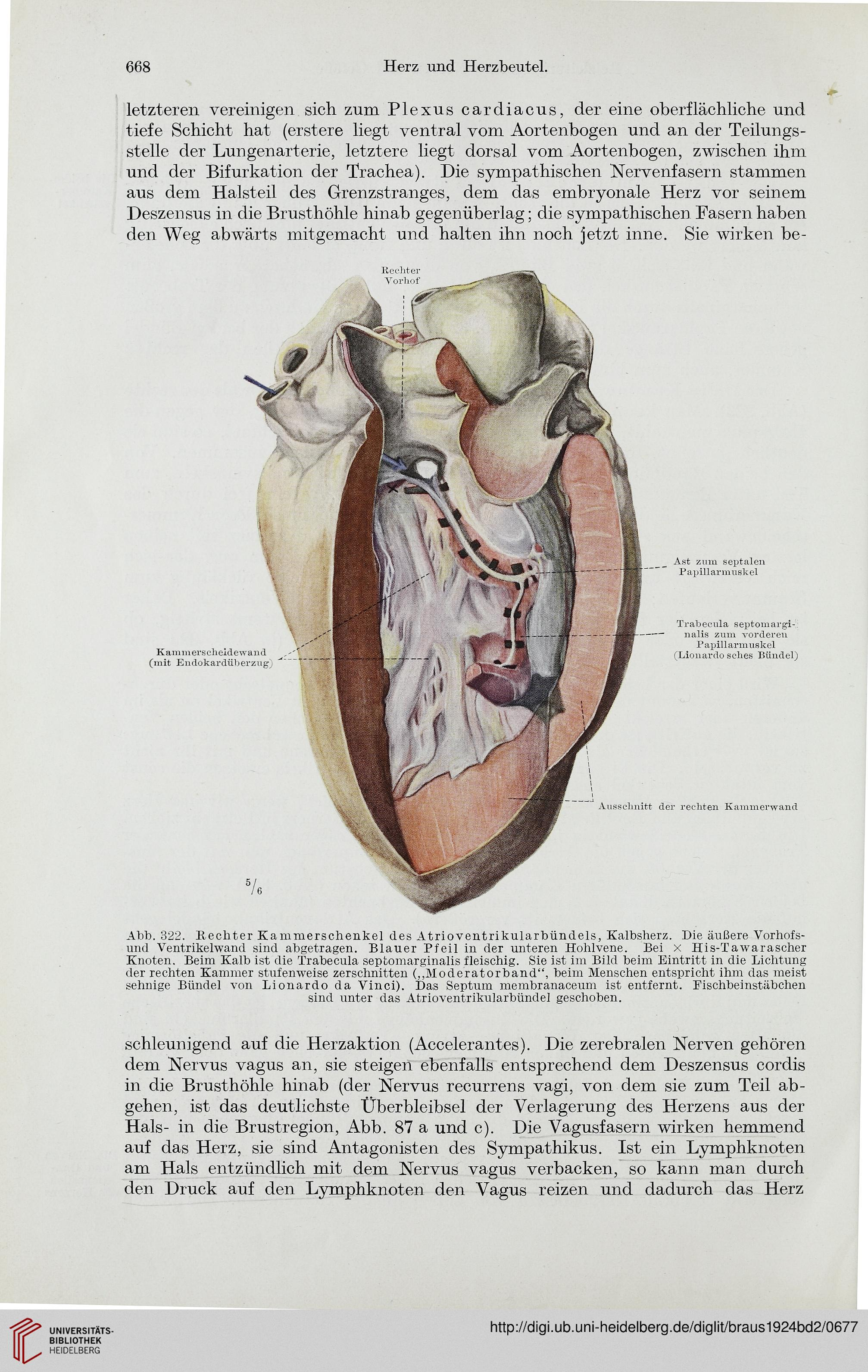 Wunderbar Oberflächliche Anatomie Des Herzens Bilder - Menschliche ...